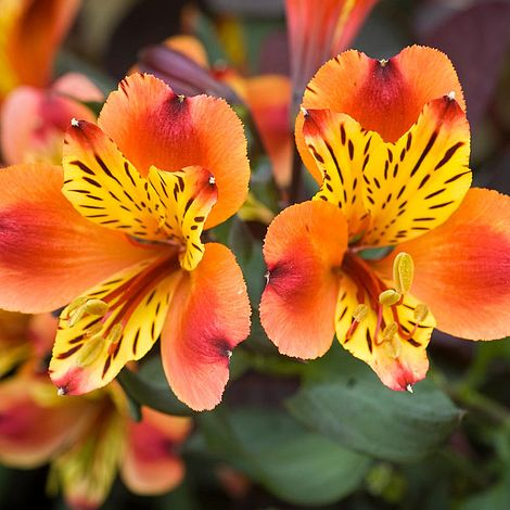 Alstromeria Indian Summer