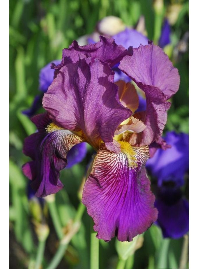 Iris Bearded Benton Menace
