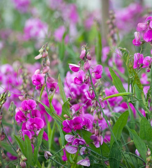 Lathyrus Latifolius mixed