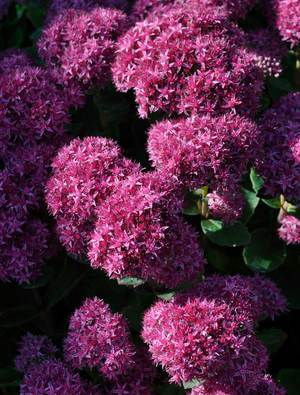 Sedum Munstead Red